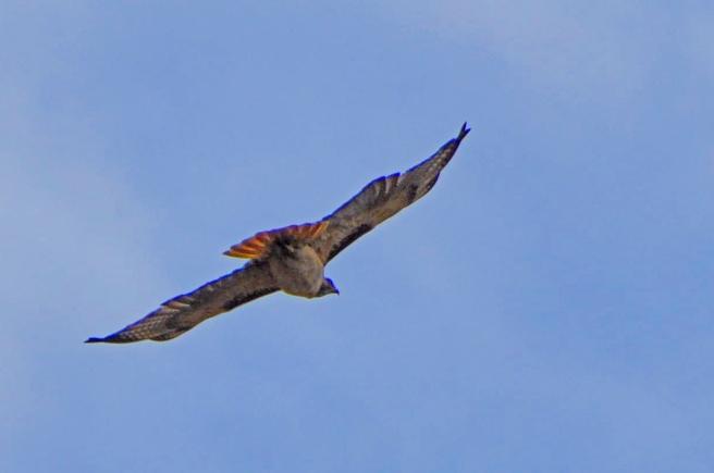 Red tail hawk flies overhead.