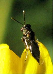 eulophid-wasp-by-emile-adj
