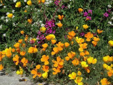 Magenta Clarkia and California poppies