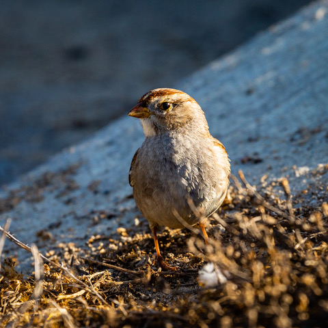Juvenile white-crowned sparrow at Bolsa Chica Ecological Reserve           Photo by Beverly Gates