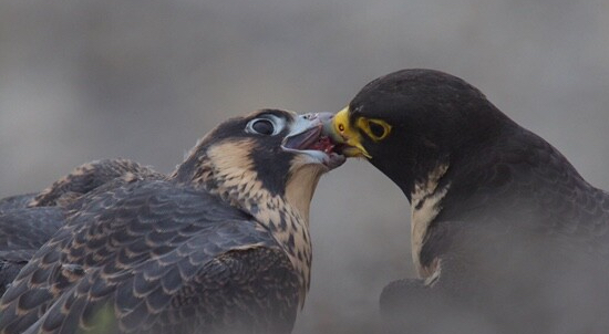 Peregrin falcon feeds its young.