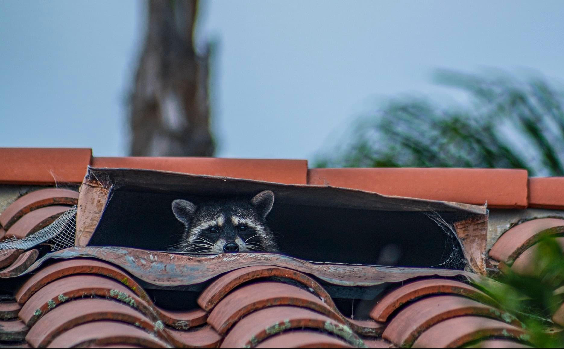 Raccoon peeks out from roof vent.